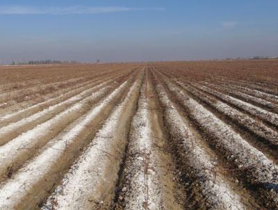 コムギ栽培圃場の土壌表面に析出した塩類