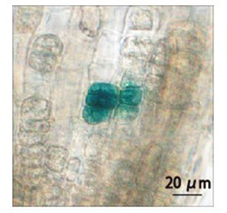 Fig. 2. GUS expression induced by infrared laser irradiation of target cells in Arabidopsis lateral root tips.