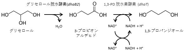 図1 嫌気性細菌におけるグリセリンからの1,3-PD生合成経路