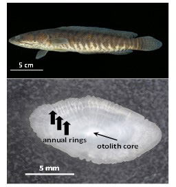 Fig. 1.Top: An adult Pa koh (24 cm SL); Bottom: Otolith and annual rings