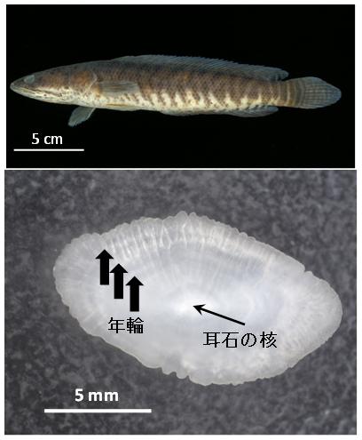 図1.上:パ・コー成魚(体長24 cm)、下:耳石と年輪(3歳と推定)