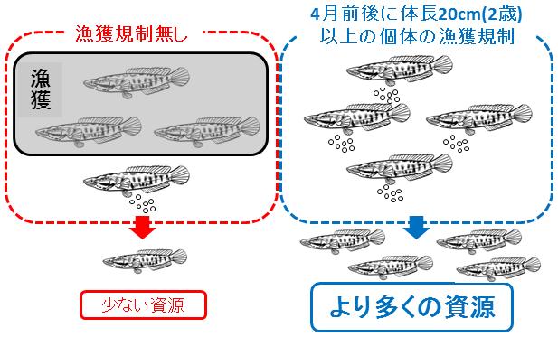 図4.漁獲規制効果のイメージ