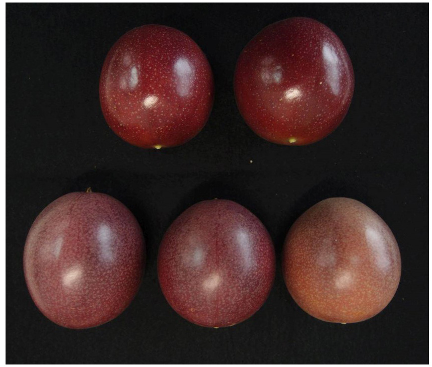 Fig. 1. Mature fruits of 'Sunny Shine' (top) and 'Summer Queen' (bottom)