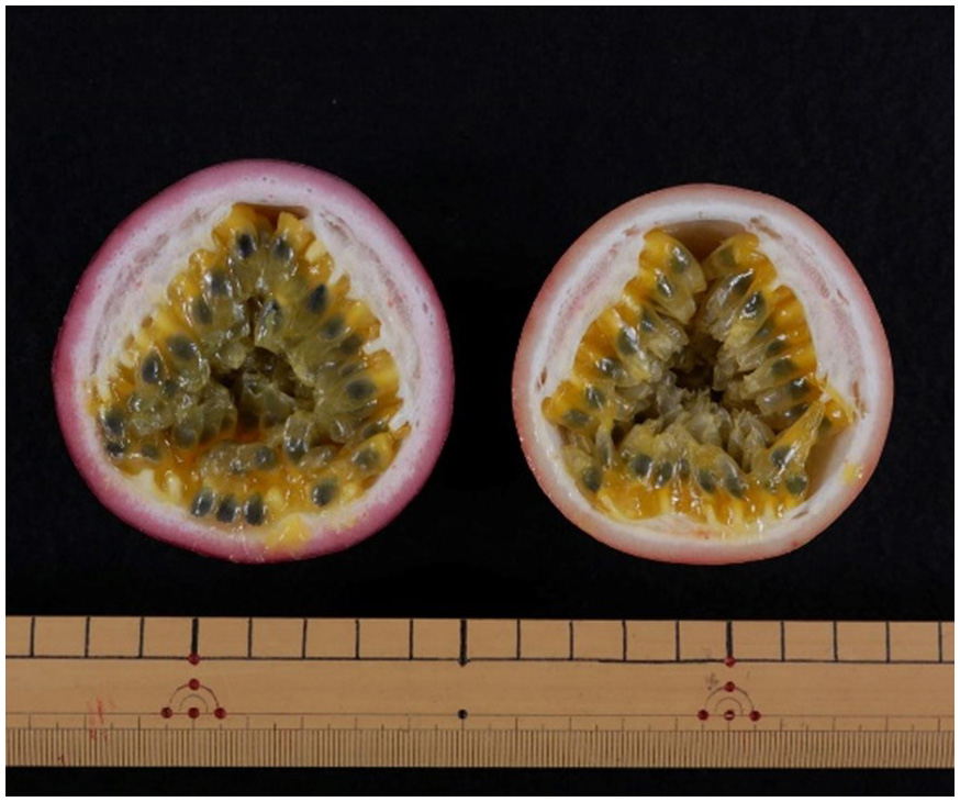 Fig. 2. Fruit cross sections of 'Sunny Shine' (left) and 'Summer Queen' (right)