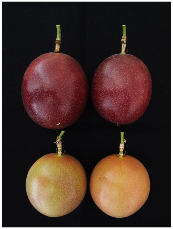 Fig. 3. Mature fruit color of 'Sunny Shine' (top) and 'Summer Queen' (bottom) during high temperature period