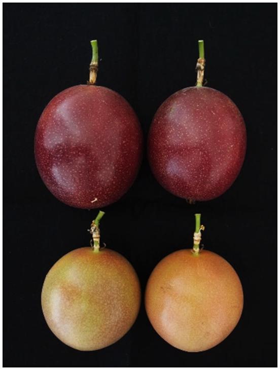 図3 高温期(育成地で6月中旬以降)の果実着色例