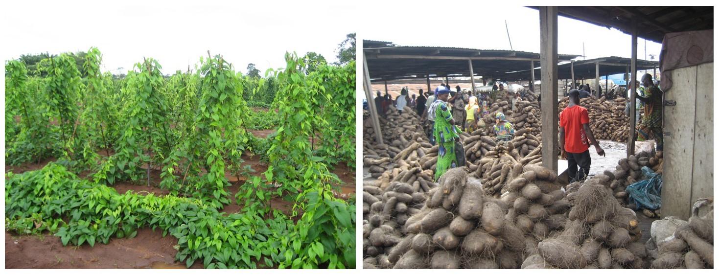 図1.西アフリカにおけるヤムイモの栽培(左)とヤムイモ市場(右)