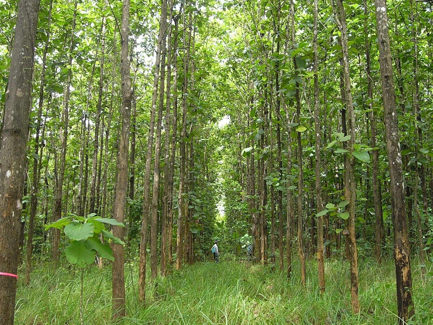 Fig. 2. A teak (Tectona grandis) plantation, 15 years old, Thailand