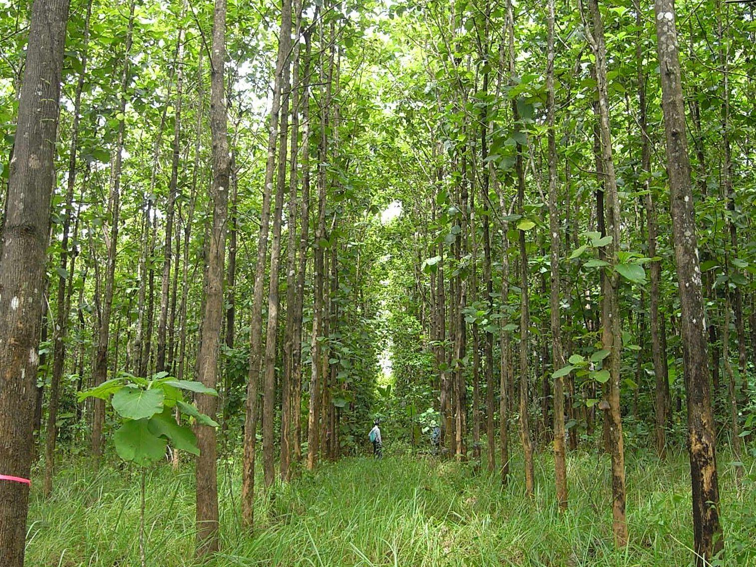 Fig. 2. A teak (Tectona grandis) plantation, 15 years old, Thailand
