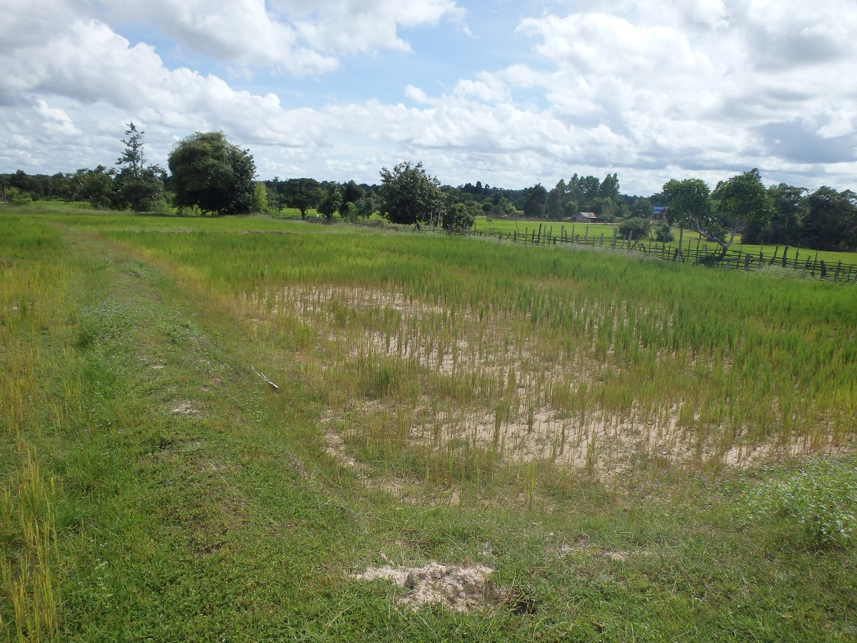写真4 水持ちが悪く水稲の生育が疎らなサワナケート県の天水田