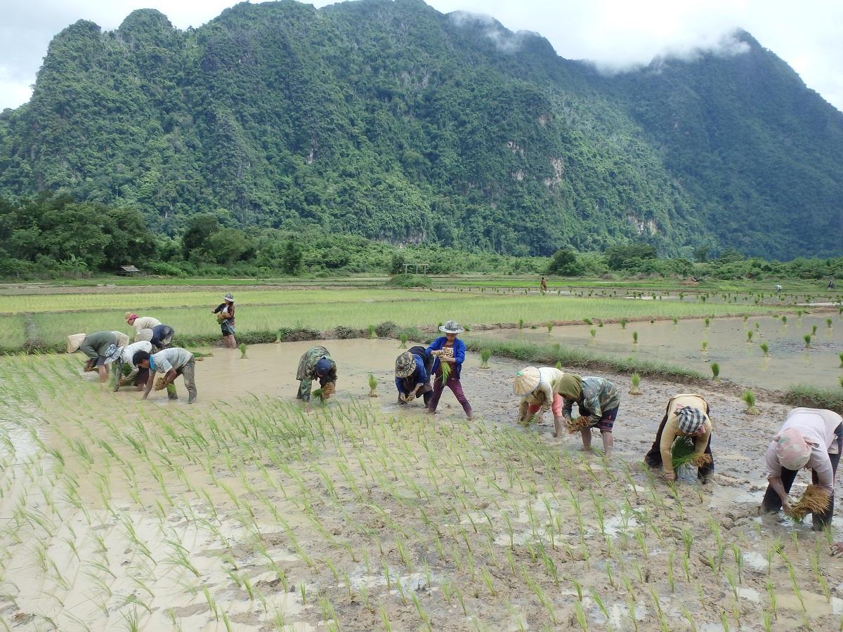 写真3 ビエンチャン県北西部の中山間農村の水田