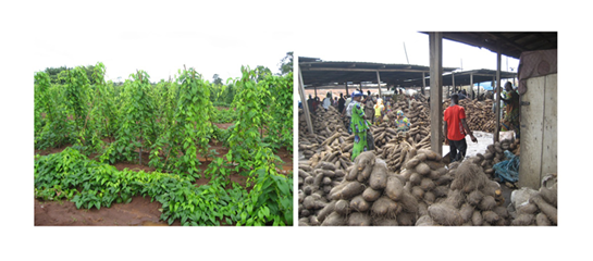 Fig. 1. Yam cultivation field (left) and tubers being sold in the market (right).