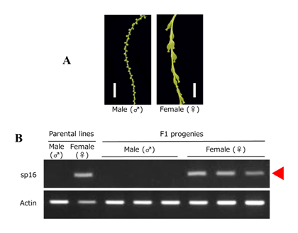 Fig. 3. Sex discrimination by the DNA marker developed in this study. A: Male and female inflorescence of D. rotundata. Bars = 10 mm. B: Results of agarose gel electrophoresis of PCR products amplified by DNA marker sp16 (sp16). Actin from D. rotundata (D