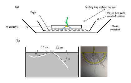 Fig. 1. Seedling tray method for evaluation of crown root angle distribution in rice seedling stage.