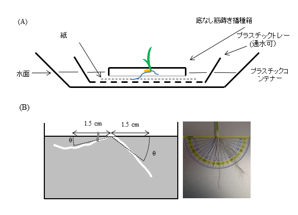 図1 播種箱を用いた冠根伸長方向の計測