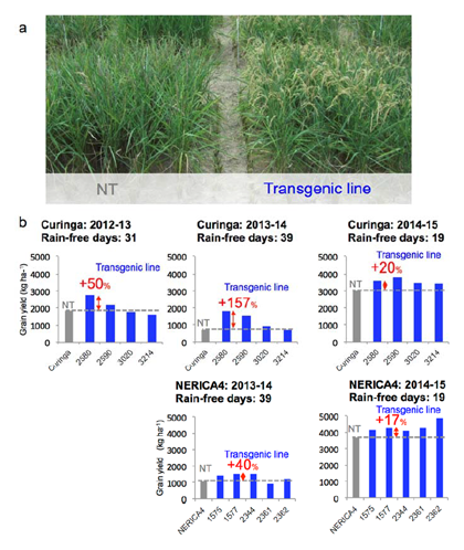 Fig. 2. Improved grain yields of transgenic lines for AtGolS2 under drought in the field.