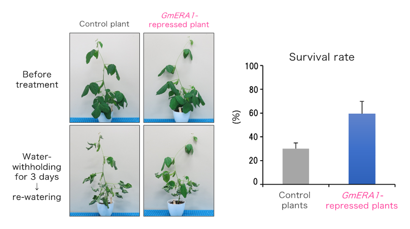 Fig. 2.	Improved drought tolerance in GmERA1-repressed soybean plants