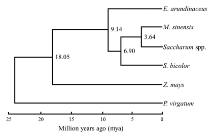 Fig. 2. Divergence times of the Saccharum complex estimated based on variation of 76 concatenated protein-coding chloroplast genes