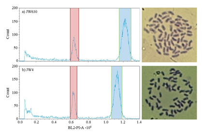 Fig. 1. Histograms of relative DNA content and mitotic metaphase chromosome preparations of Erianthus arundinaceus from temperate (a) and subtropical (b) zones.