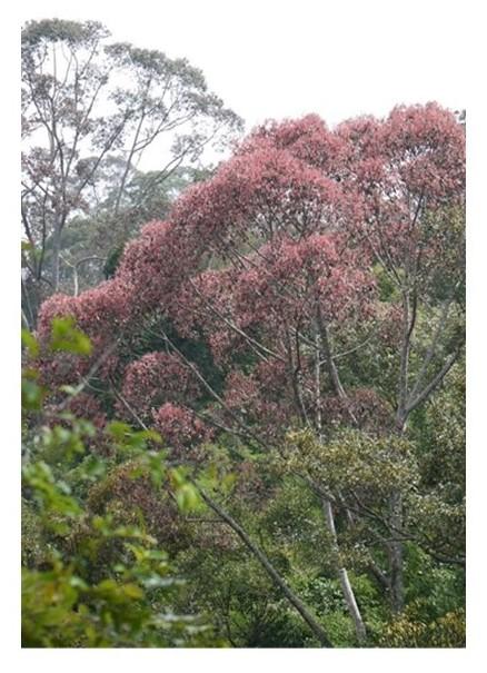 図1 S. curtisiiの結実の様子(セマンコック森林保護区にて2014年7月撮影)