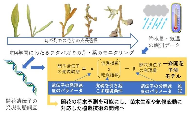 図3 フタバガキの一斉開花予測モデルの開発手順