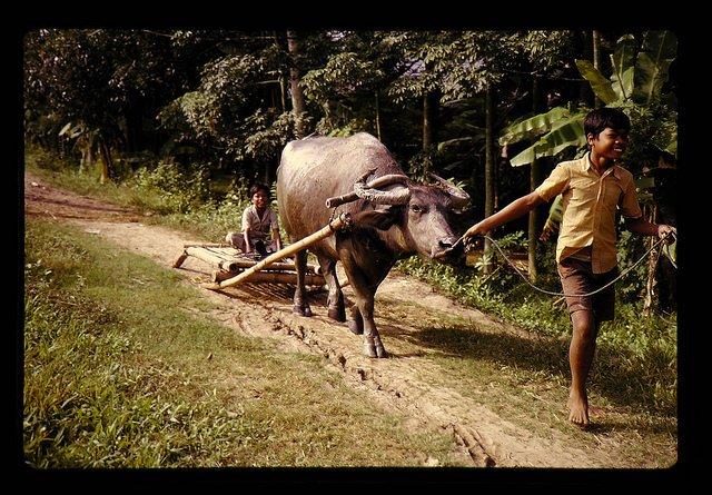 マレイシア・ムダ潅漑地域の稲作栽培(籾の運搬)