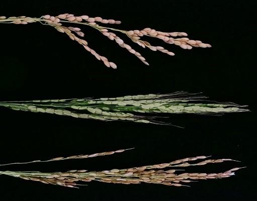 アジアイネ(上),アジアイネとアフリカイネの雑種(中),アフリカイネ(下)。雑種は籾はあるが稔らない。