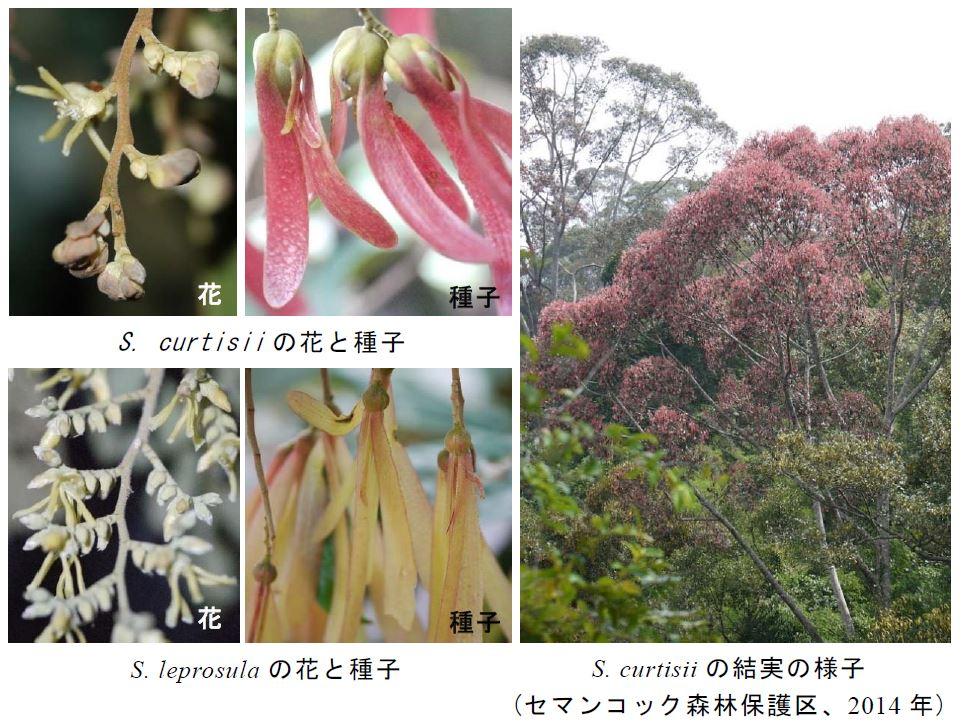 図1. フタバガキ科樹種の開花結実