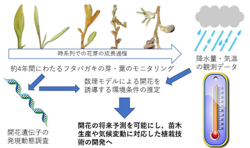 図2. フタバガキの一斉開花予測モデルの開発手順