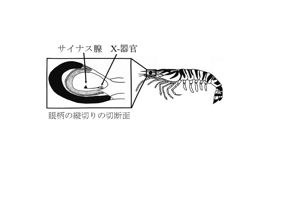 図1. 眼柄内のサイナス腺とX-器官