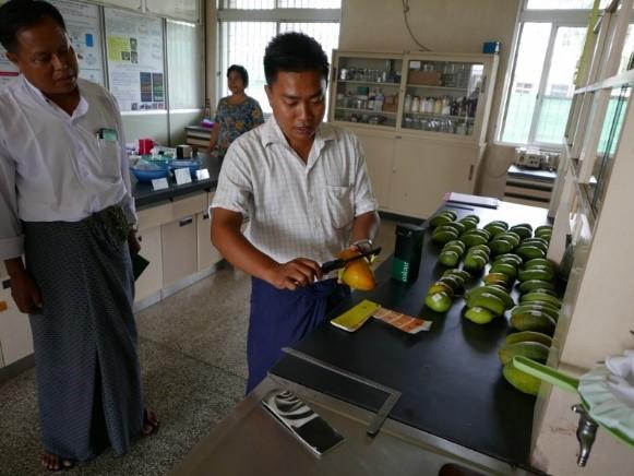 写真2. ミャンマーでのマンゴー果実の特性調査
