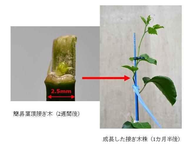 写真3. 簡易茎頂接ぎ木によるパッションフルーツウイルスフリー化の検討(左:接ぎ木2週間後、右:1か月半後)