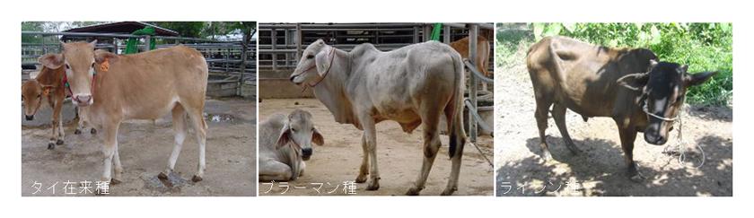 写真1 メタン排出量測定を実施した牛品種