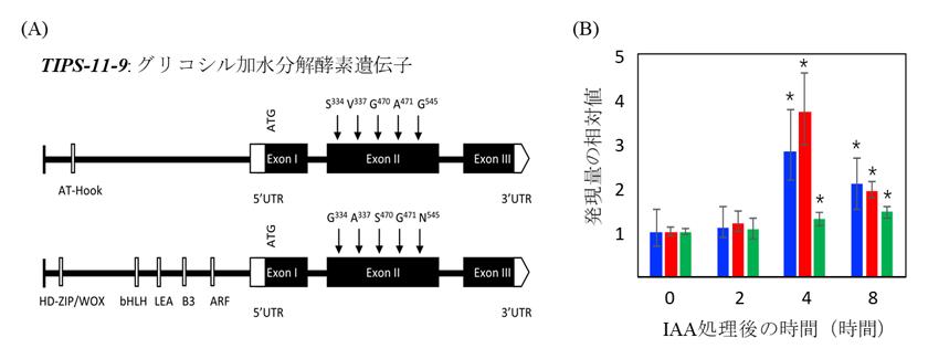 図2 側根形成に関与する遺伝子の候補TIPS-11-9の特徴付け