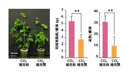 図3 人工気象器内へのCO2の補充によりダイズの生育が向上し、花数が増加する