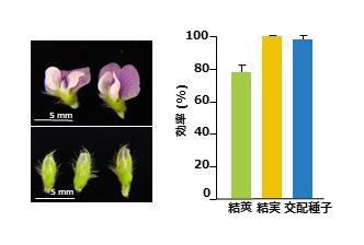 図4 CO2補充人工気象器栽培ダイズの花は交配に適している