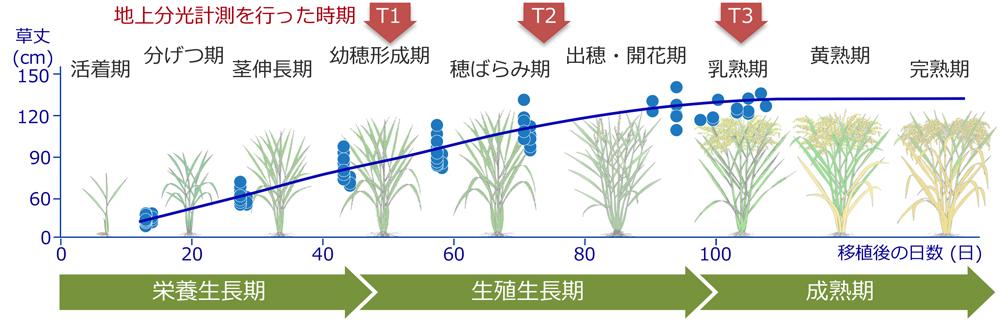 図1 水稲の草丈と地上分光計測時の生育ステージ(T1, T2, T3)