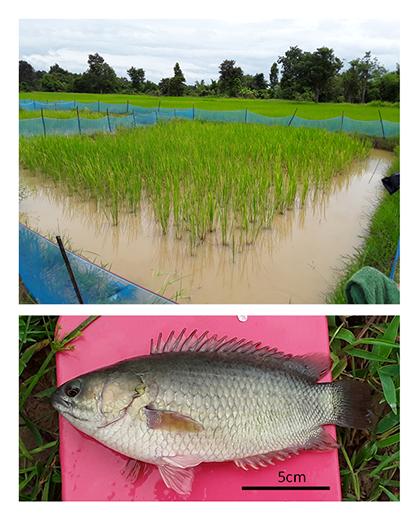 図1 養魚水田(上)と収獲されたキノボリウオ(下、体長約18 cm)