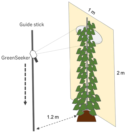 Fig. 1. NDVI measurement procedure for staking yam. The plant height was measured visually using the scale printed on the board behind the plant.