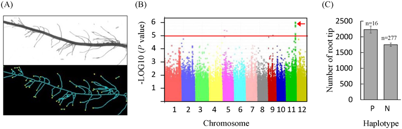 Fig. 1. Detection of a QTL related to lateral root development through GWAS.
