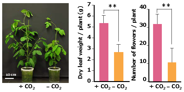 Fig 3. CO2 supplementation enhances soybean growth and flower number in growth chambers.
