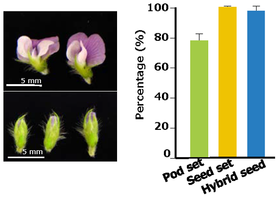 Fig 4. The soybean flowers grown in the CO2-supplemented growth chamber are useful for effective crossing.