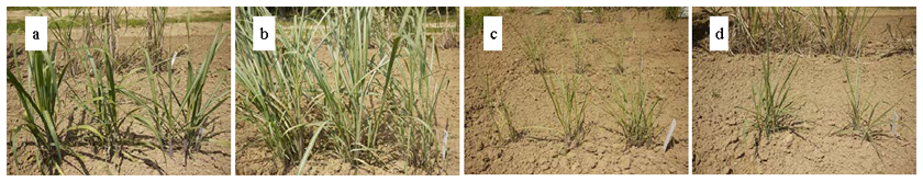 Fig. 1. Growth of intergeneric hybrids between sugarcane and E. arundinaceus