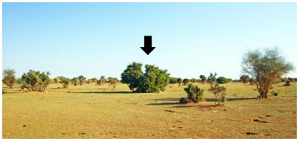 Fig. 1. Night-roosting site choice by gregarious nymphs of Schistocerca gregaria.