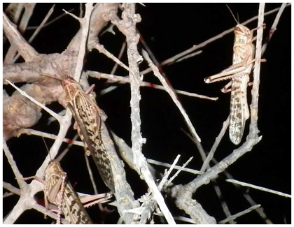 Fig. 3. Adult locusts roosting on the branches of a large tree during the night.