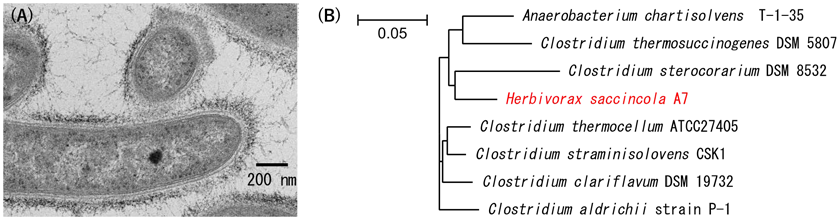 Fig. 1. Electron micrograph (A) and phylogenetic tree (B) of H. saccincola A7.