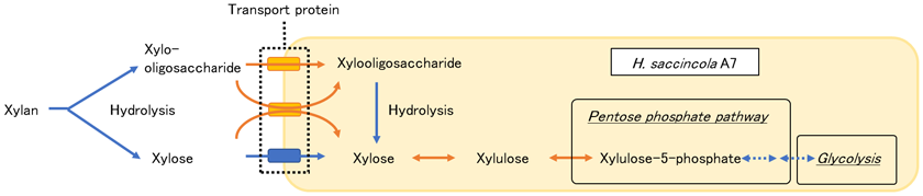 Fig. 2. Metabolic pathway of xylose and xylooligosaccharides in H. saccincola A7.