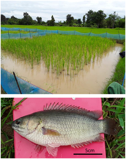 Fig. 1. Rice paddy for fish culture (top) and the harvested climbing perch (bottom)
