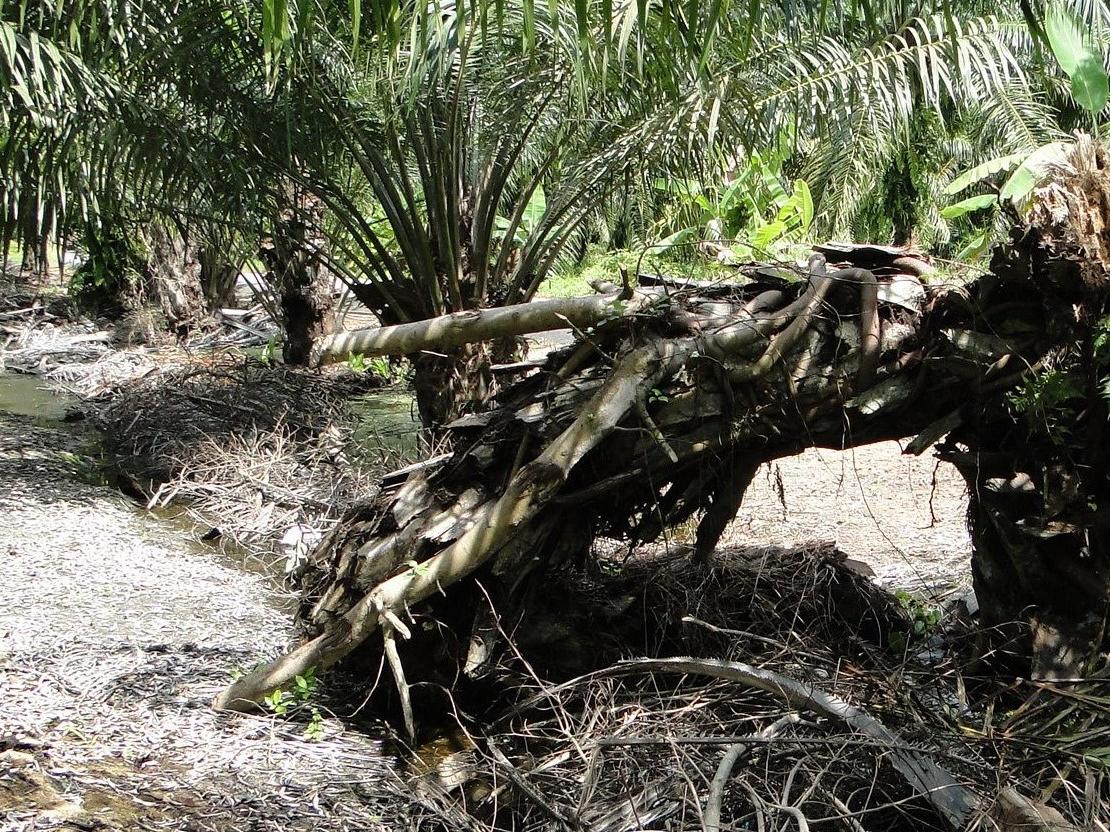 病害虫の被害で倒木する若いパーム幹