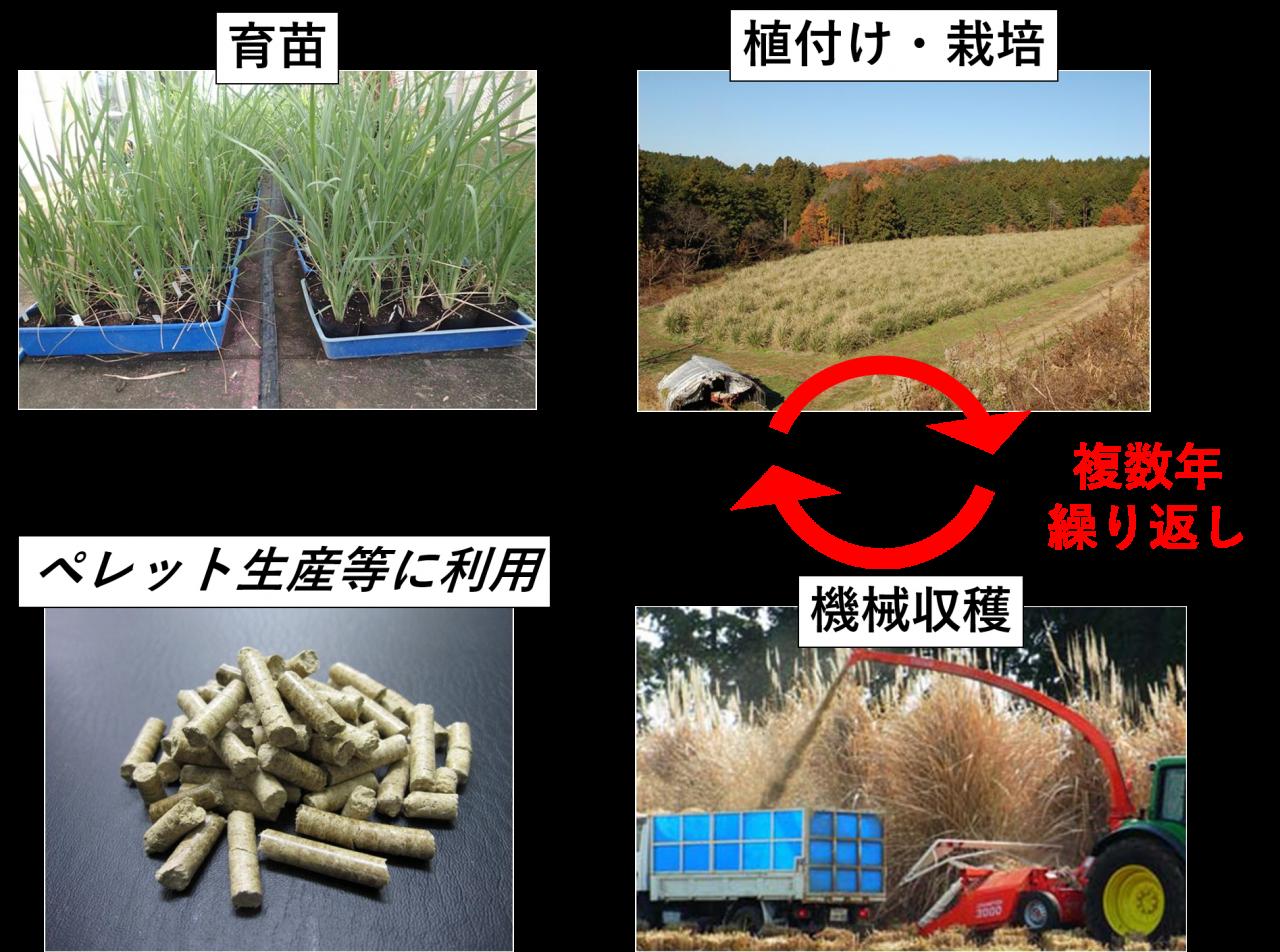 エリアンサスの栽培・利用
